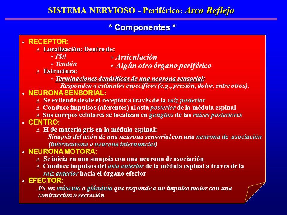 Arco Reflejo SISTEMA NERVIOSO - Periférico : Arco Reflejo * Componentes * RECEPTOR: Localización: Dentro de: Piel Tendón Estructura: Terminaciones den