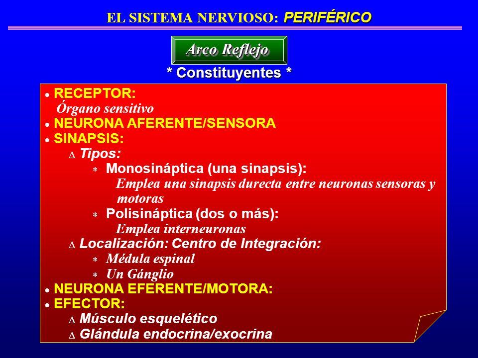 RECEPTOR: Órgano sensitivo NEURONA AFERENTE/SENSORA SINAPSIS: Tipos: Monosináptica (una sinapsis): Emplea una sinapsis durecta entre neuronas sensoras