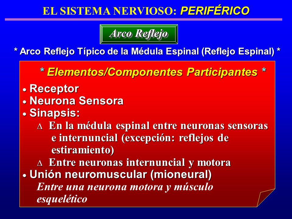 PERIFÉRICO EL SISTEMA NERVIOSO: PERIFÉRICO * Arco Reflejo Típico de la Médula Espinal (Reflejo Espinal) * Arco Reflejo * Elementos/Componentes Partici