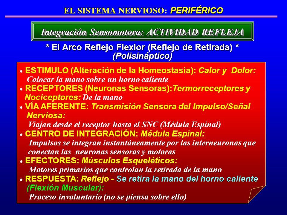 ESTIMULO (Alteración de la Homeostasia): Calor y Dolor: Colocar la mano sobre un horno caliente RECEPTORES (Neuronas Sensoras):Termorreceptores y Noci
