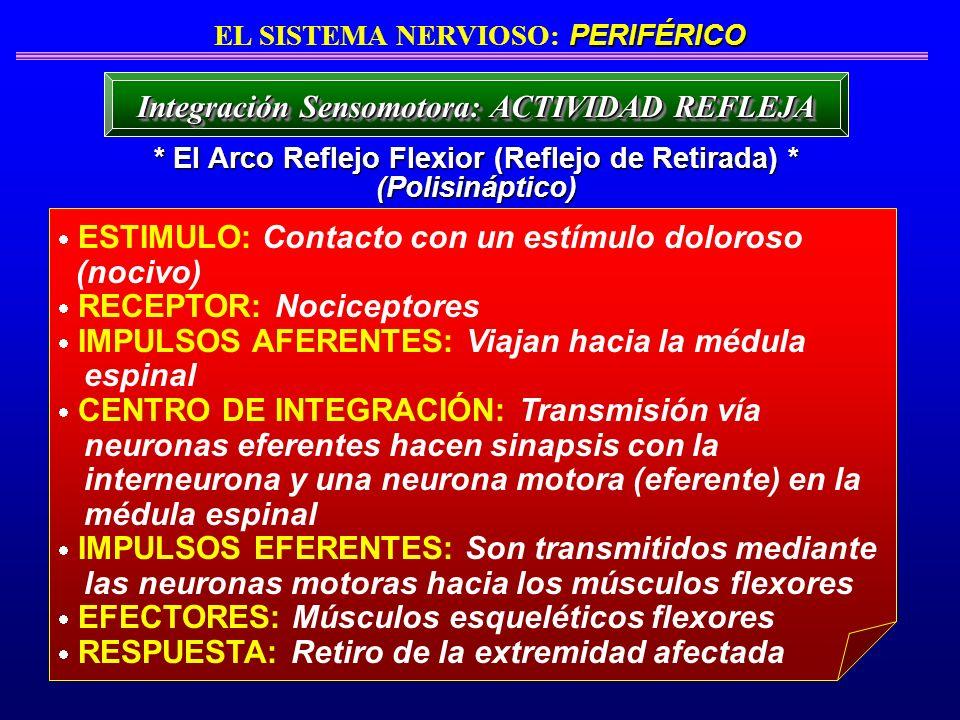 ESTIMULO: Contacto con un estímulo doloroso (nocivo) RECEPTOR: Nociceptores IMPULSOS AFERENTES: Viajan hacia la médula espinal CENTRO DE INTEGRACIÓN: