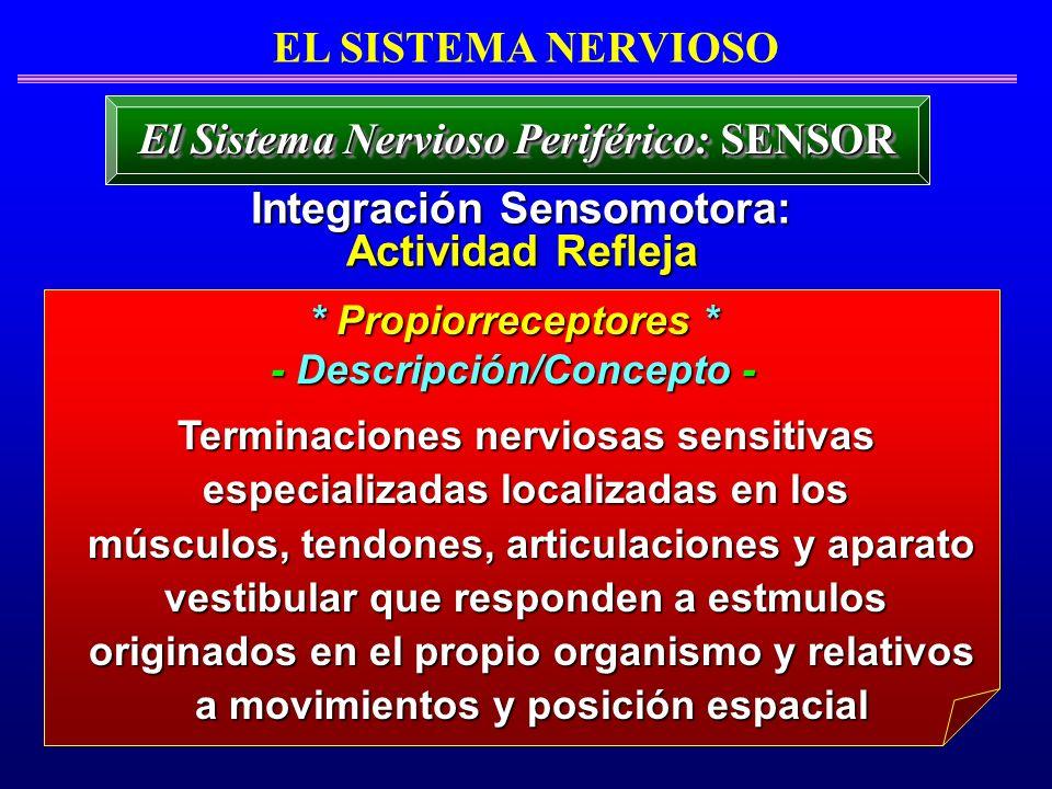 EL SISTEMA NERVIOSO El Sistema Nervioso Periférico: SENSOR Terminaciones nerviosas sensitivas especializadas localizadas en los músculos, tendones, ar