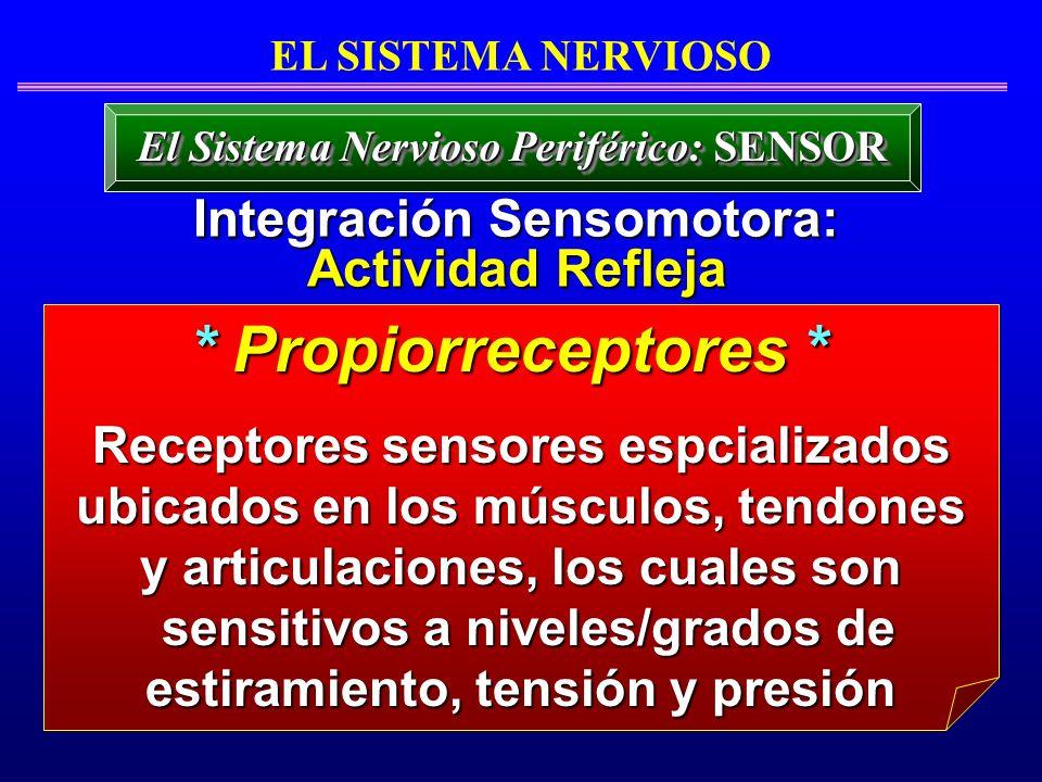 EL SISTEMA NERVIOSO El Sistema Nervioso Periférico: SENSOR Receptores sensores espcializados ubicados en los músculos, tendones y articulaciones, los