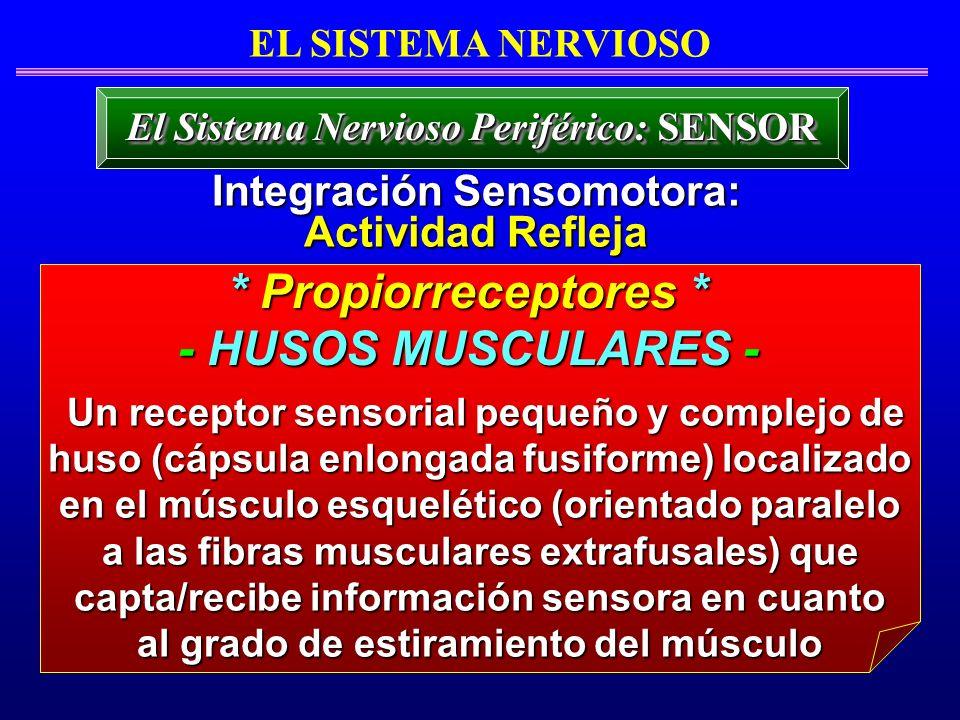 Un receptor sensorial pequeño y complejo de huso (cápsula enlongada fusiforme) localizado en el músculo esquelético (orientado paralelo Un receptor se