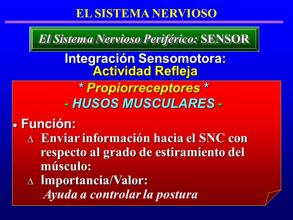 * Propiorreceptores * - HUSOS MUSCULARES - Función: Función: Enviar información hacia el SNC con Enviar información hacia el SNC con respecto al grado