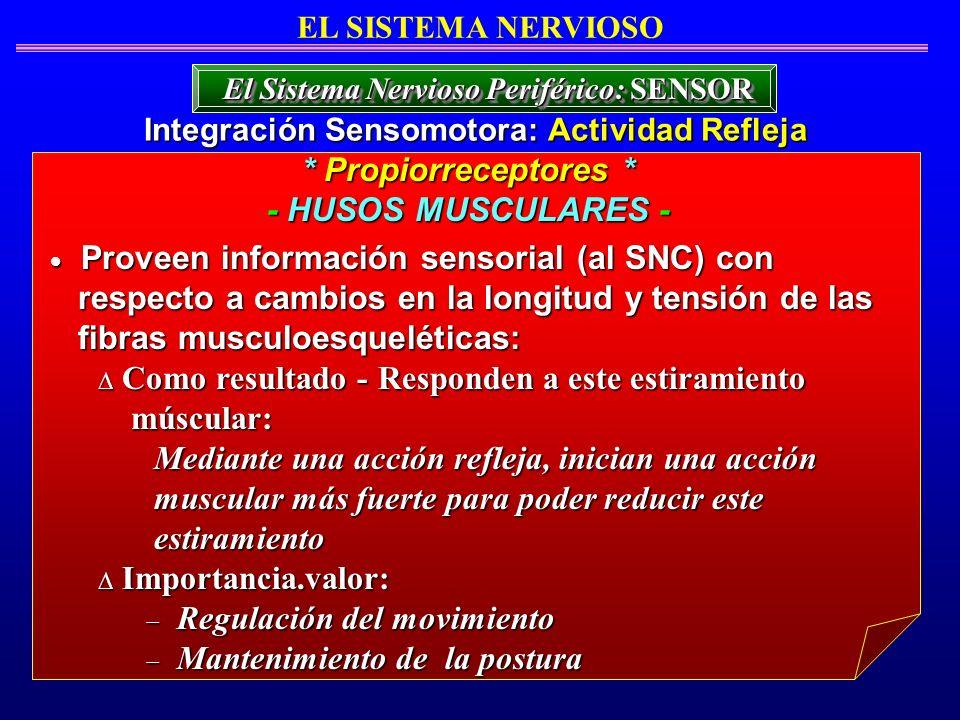 EL SISTEMA NERVIOSO Proveen información sensorial (al SNC) con Proveen información sensorial (al SNC) con respecto a cambios en la longitud y tensión