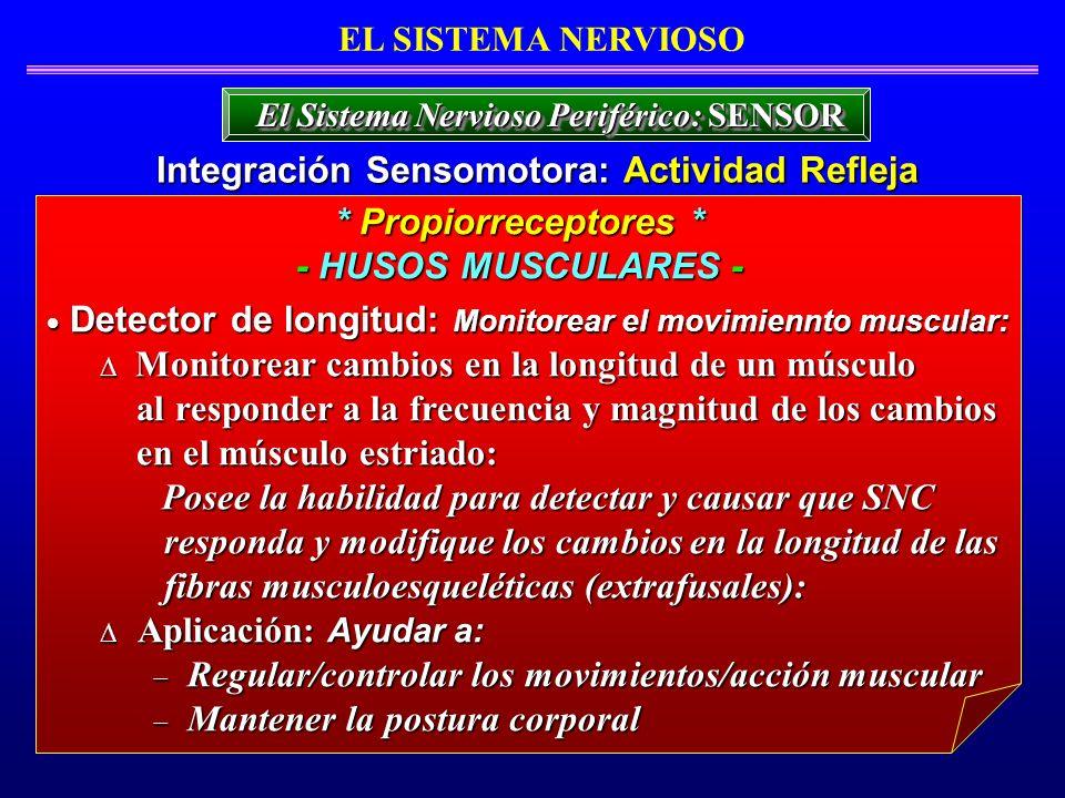 Detector de longitud: Monitorear el movimiennto muscular: Detector de longitud: Monitorear el movimiennto muscular: Monitorear cambios en la longitud