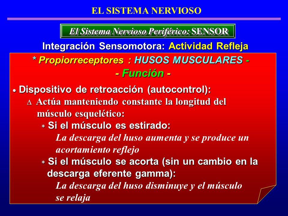 Dispositivo de retroacción (autocontrol): Dispositivo de retroacción (autocontrol): Actúa manteniendo constante la longitud del Actúa manteniendo cons