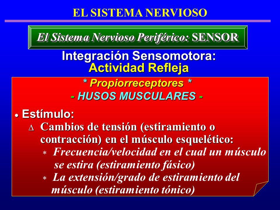 * Propiorreceptores * - HUSOS MUSCULARES - Estímulo: Estímulo: Cambios de tensión (estiramiento o Cambios de tensión (estiramiento o contracción) en e