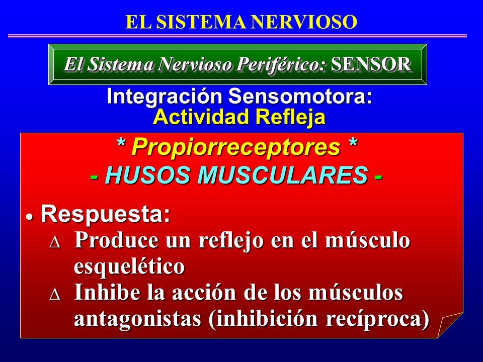 * Propiorreceptores * - HUSOS MUSCULARES - Respuesta: Respuesta: Produce un reflejo en el músculo Produce un reflejo en el músculo esquelético esquelé
