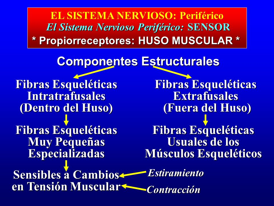 El Sistema Nervioso Periférico: SENSOR EL SISTEMA NERVIOSO: Periférico El Sistema Nervioso Periférico: SENSOR Componentes Estructurales Fibras Esquelé