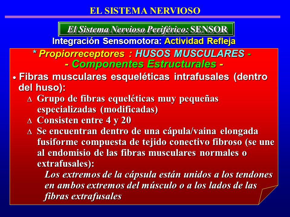 Fibras musculares esqueléticas intrafusales (dentro Fibras musculares esqueléticas intrafusales (dentro del huso): del huso): Grupo de fibras equeléti