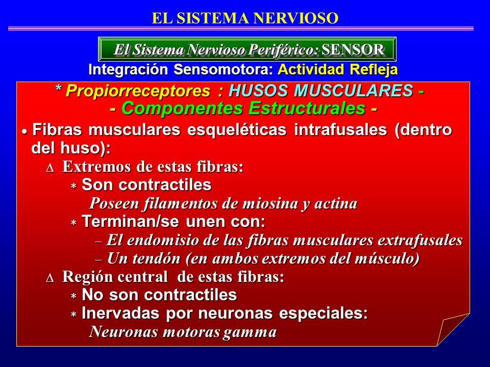 Fibras musculares esqueléticas intrafusales (dentro Fibras musculares esqueléticas intrafusales (dentro del huso): del huso): Extremos de estas fibras