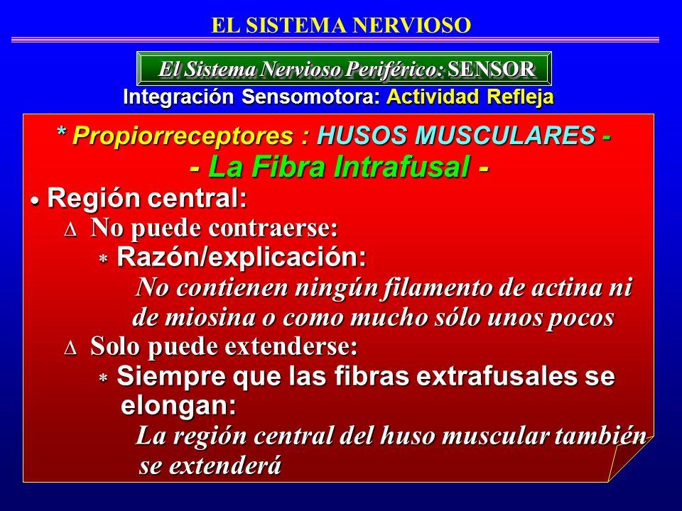 Región central: Región central: No puede contraerse: No puede contraerse: Razón/explicación: Razón/explicación: No contienen ningún filamento de actin