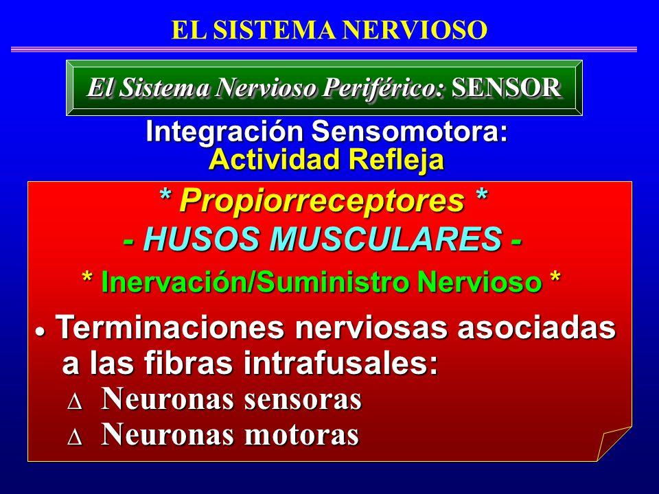 * Propiorreceptores * - HUSOS MUSCULARES - Terminaciones nerviosas asociadas Terminaciones nerviosas asociadas a las fibras intrafusales: a las fibras