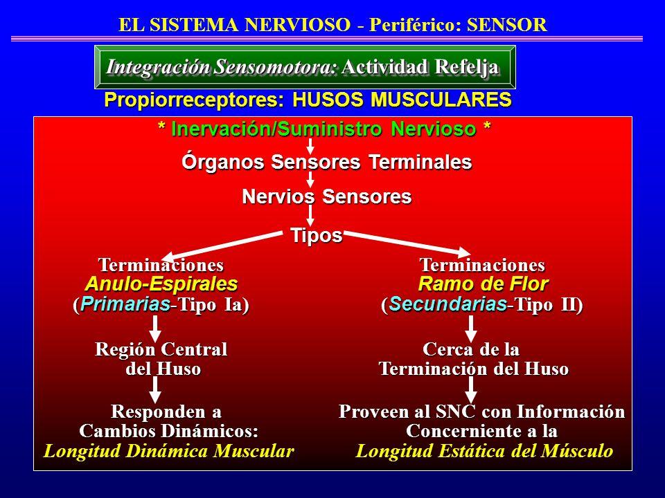 EL SISTEMA NERVIOSO - Periférico: SENSOR Propiorreceptores: HUSOS MUSCULARES * Inervación/Suministro Nervioso * Órganos Sensores Terminales Nervios Se