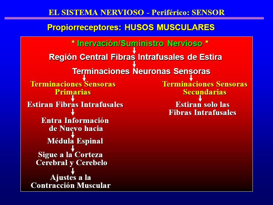 * Inervación/Suministro Nervioso * Región Central Fibras Intrafusales de Estira Terminaciones Neuronas Sensoras Terminaciones Sensoras Primarias Termi