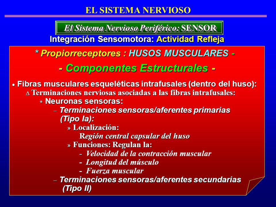 Fibras musculares esqueléticas intrafusales (dentro del huso): Fibras musculares esqueléticas intrafusales (dentro del huso): Terminaciones nerviosas