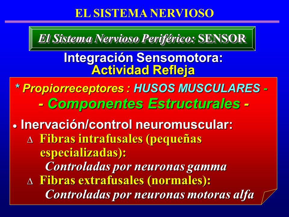 Inervación/control neuromuscular: Inervación/control neuromuscular: Fibras intrafusales (pequeñas Fibras intrafusales (pequeñas especializadas): espec