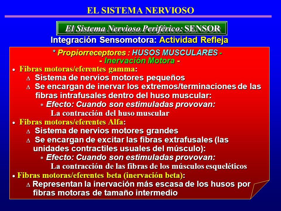 Fibras motoras/eferentes gamma: Fibras motoras/eferentes gamma: Sistema de nervios motores pequeños Sistema de nervios motores pequeños Se encargan de