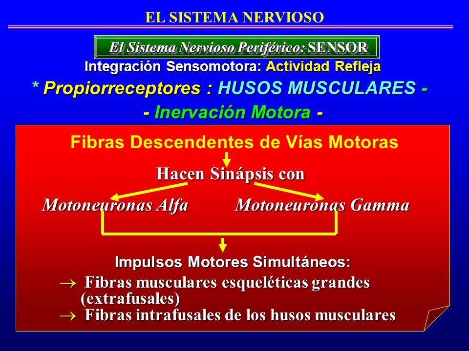 - Inervación Motora - * Propiorreceptores : HUSOS MUSCULARES - EL SISTEMA NERVIOSO Integración Sensomotora: Actividad Refleja El Sistema Nervioso Peri