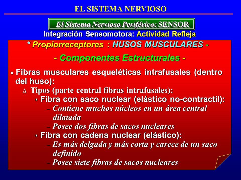 Fibras musculares esqueléticas intrafusales (dentro Fibras musculares esqueléticas intrafusales (dentro del huso): del huso): Tipos (parte central fib