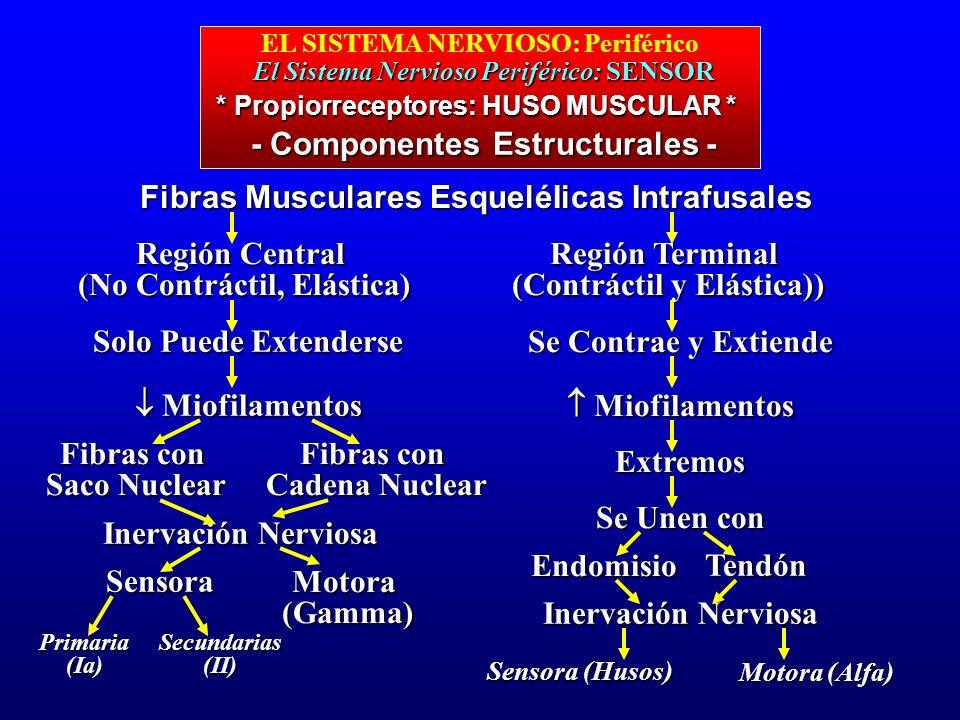El Sistema Nervioso Periférico: SENSOR EL SISTEMA NERVIOSO: Periférico El Sistema Nervioso Periférico: SENSOR - Componentes Estructurales - * Propiorr