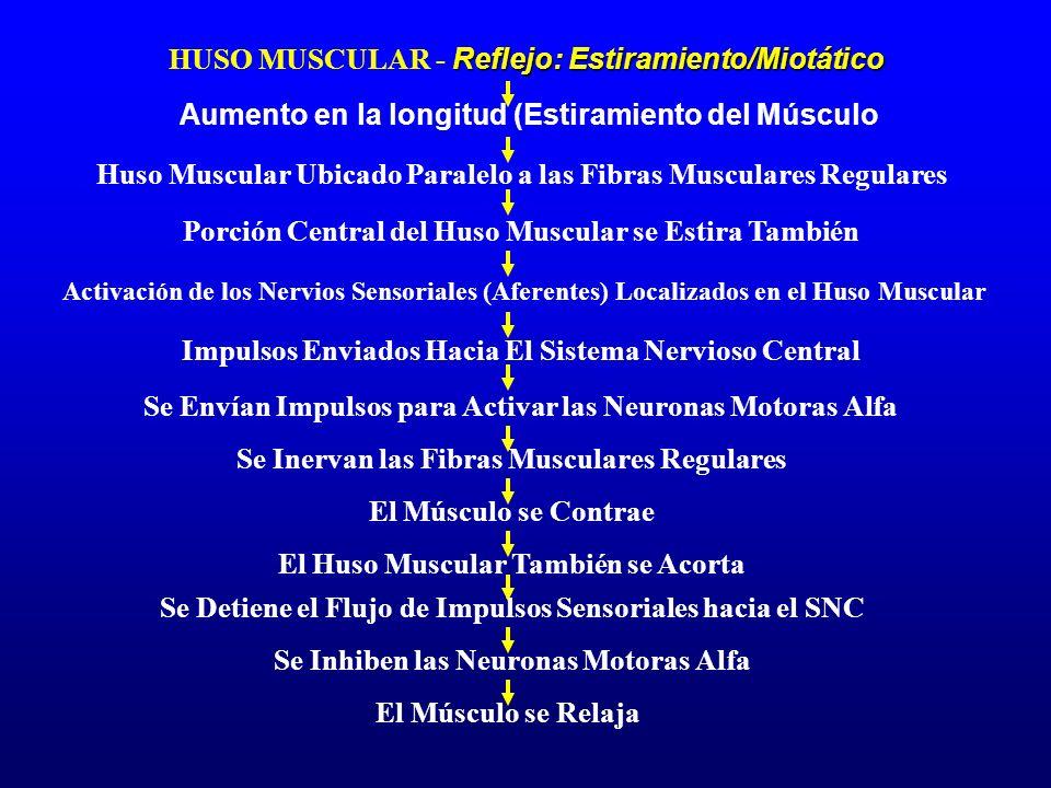 Reflejo: Estiramiento/Miotático HUSO MUSCULAR - Reflejo: Estiramiento/Miotático Aumento en la longitud (Estiramiento del Músculo Porción Central del H