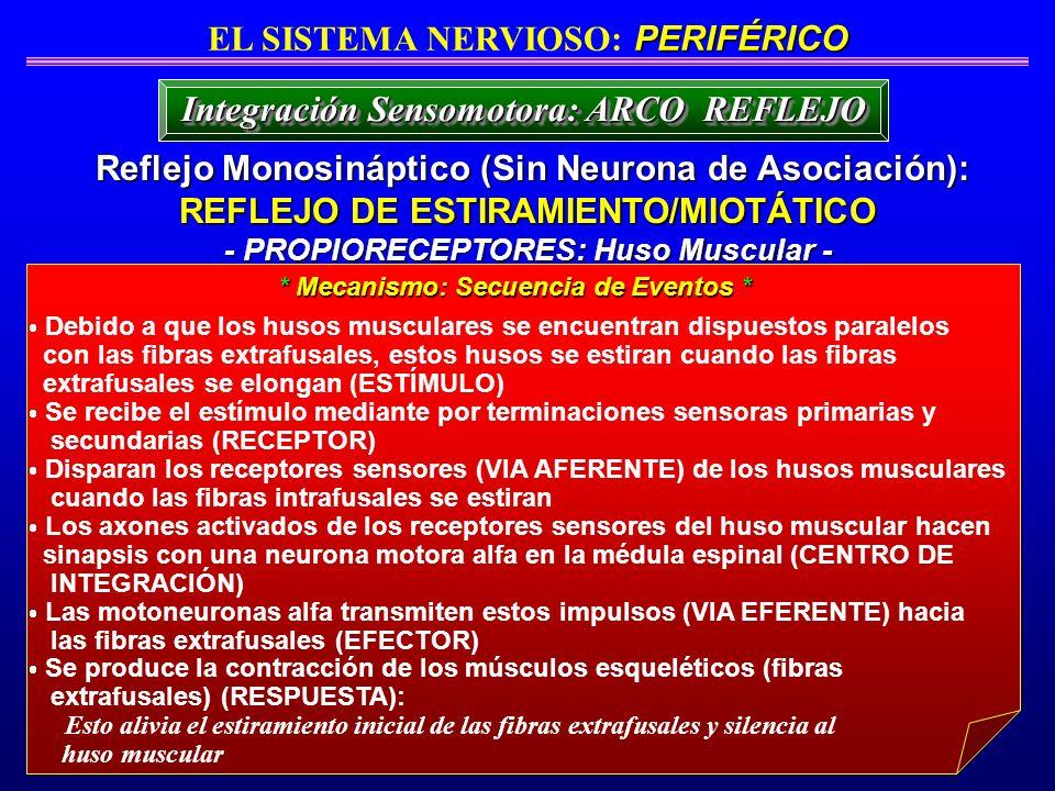Reflejo Monosináptico (Sin Neurona de Asociación): Reflejo Monosináptico (Sin Neurona de Asociación): REFLEJO DE ESTIRAMIENTO/MIOTÁTICO - PROPIORECEPT
