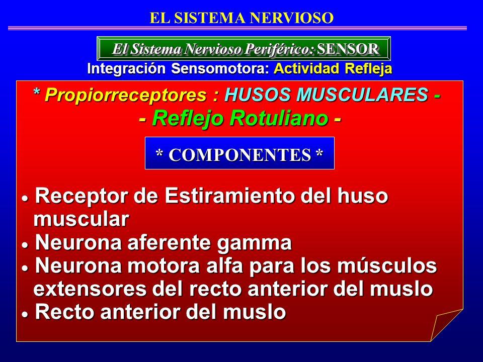 * Propiorreceptores : HUSOS MUSCULARES - - Reflejo Rotuliano - EL SISTEMA NERVIOSO Integración Sensomotora: Actividad Refleja El Sistema Nervioso Peri