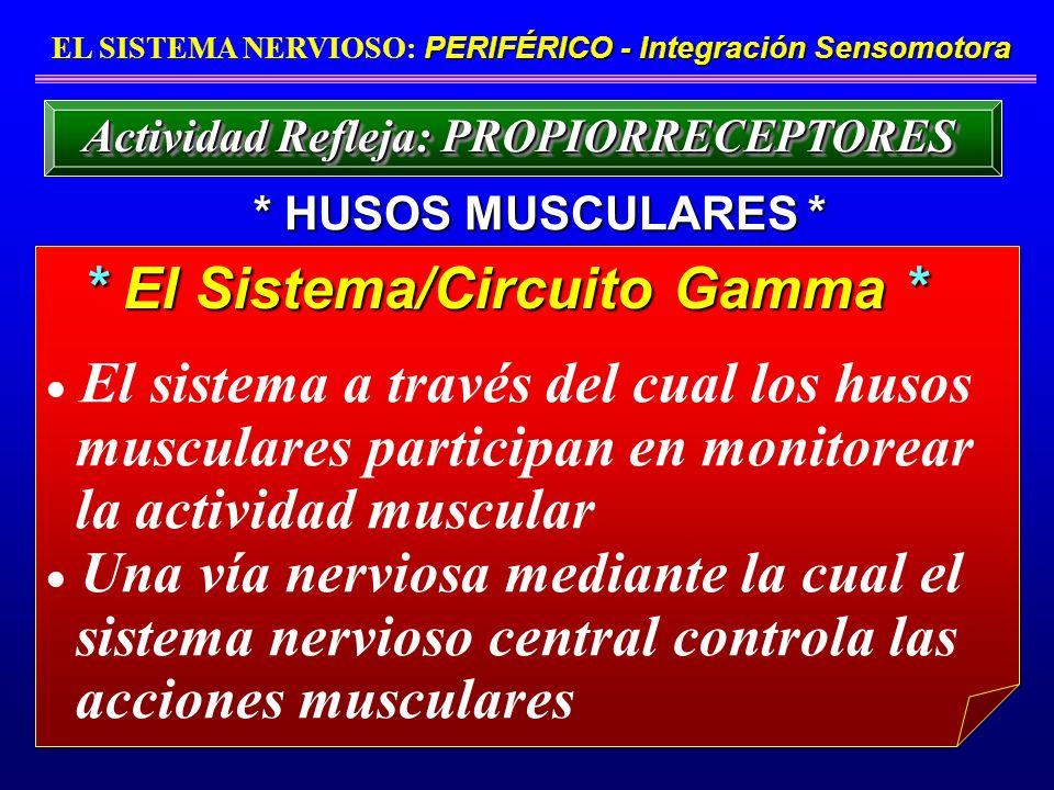 El sistema a través del cual los husos musculares participan en monitorear la actividad muscular Una vía nerviosa mediante la cual el sistema nervioso
