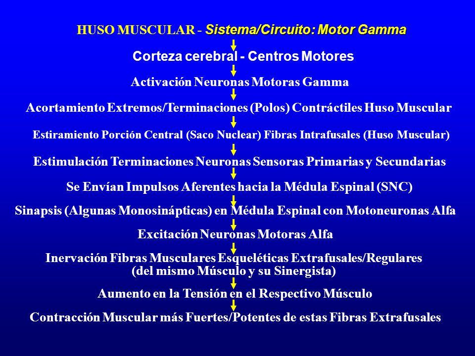 Sistema/Circuito: Motor Gamma HUSO MUSCULAR - Sistema/Circuito: Motor Gamma Corteza cerebral - Centros Motores Acortamiento Extremos/Terminaciones (Po
