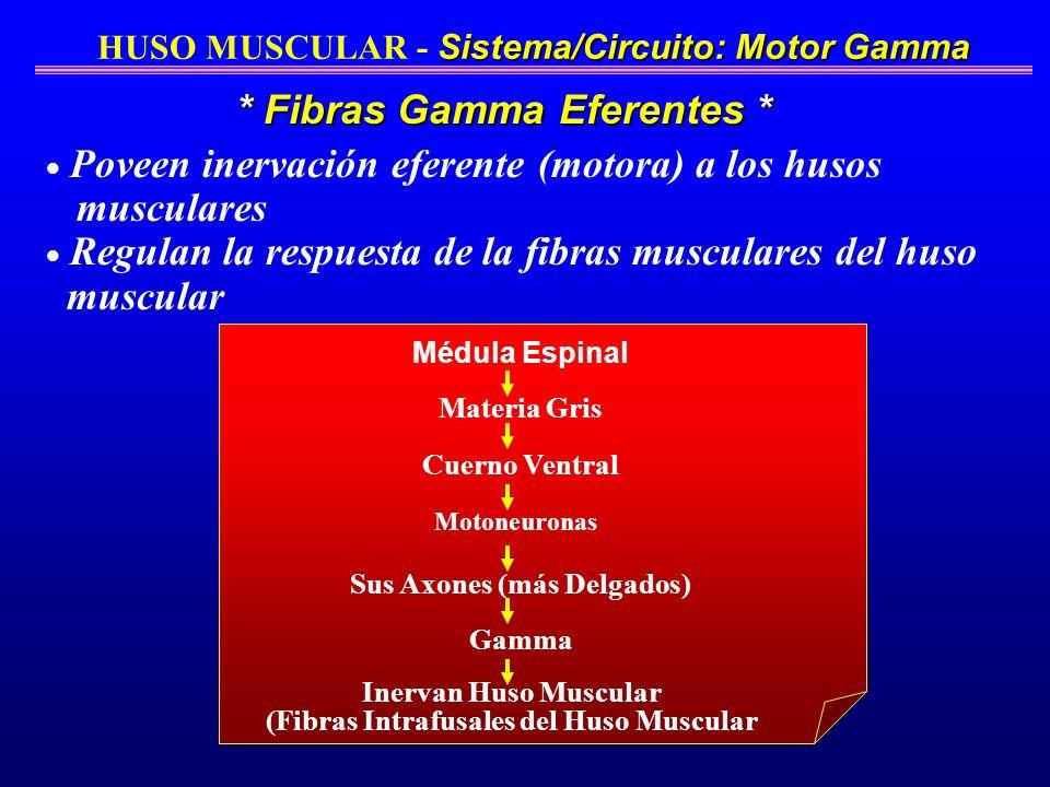 Sistema/Circuito: Motor Gamma HUSO MUSCULAR - Sistema/Circuito: Motor Gamma Médula Espinal Cuerno Ventral Materia Gris Motoneuronas Sus Axones (más De