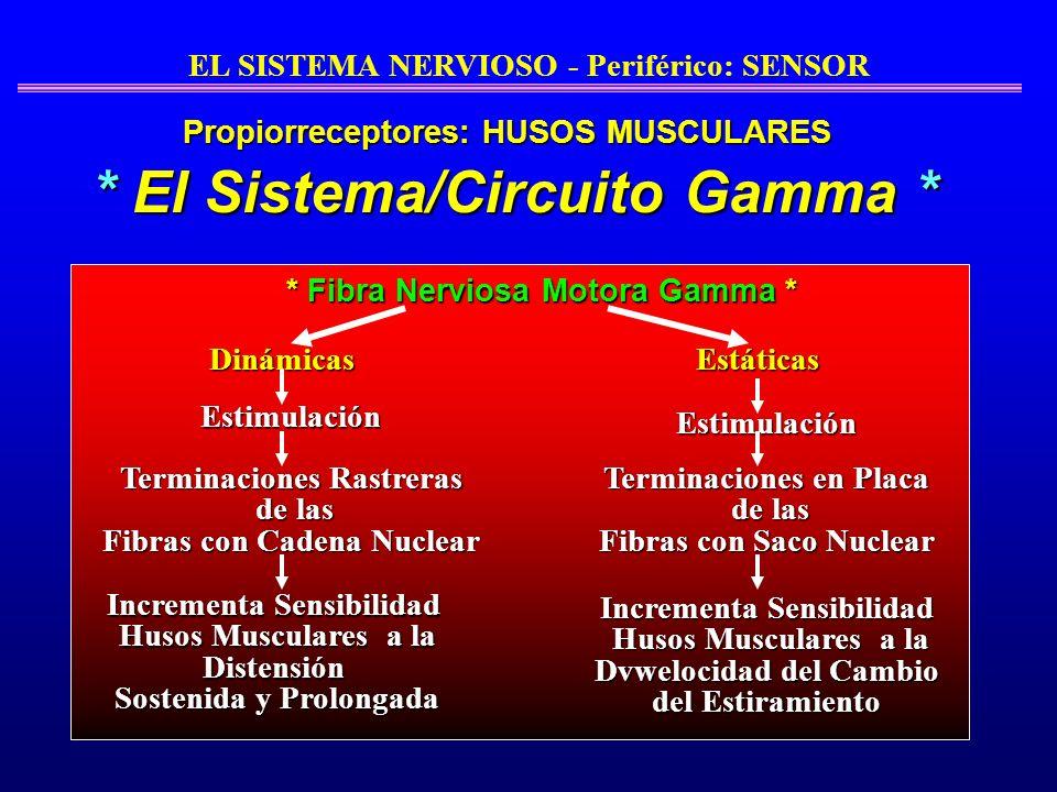 * Fibra Nerviosa Motora Gamma * DinámicasEstáticas Estimulación Terminaciones Rastreras de las de las Fibras con Cadena Nuclear Estimulación Increment