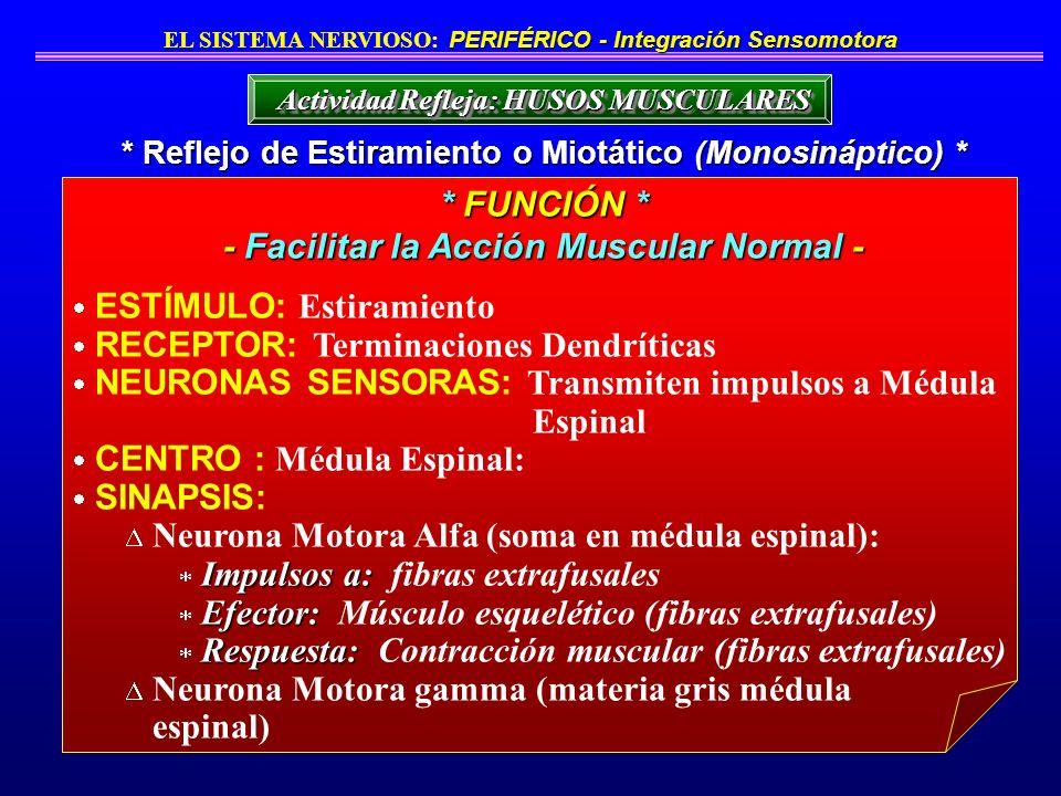 ESTÍMULO: Estiramiento RECEPTOR: Terminaciones Dendríticas NEURONAS SENSORAS: Transmiten impulsos a Médula Espinal CENTRO : Médula Espinal: SINAPSIS: