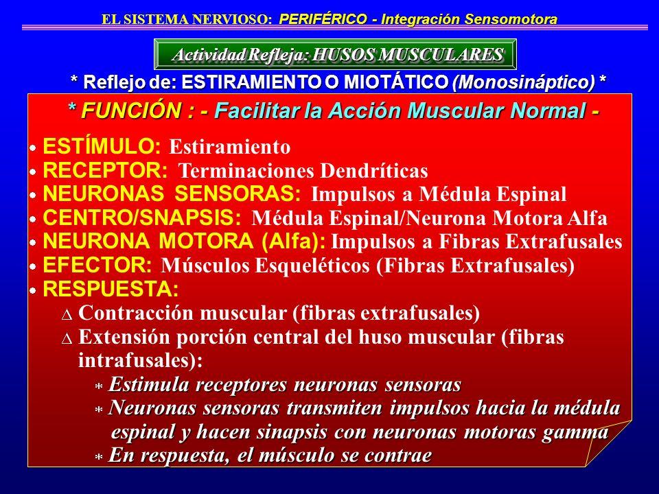 ESTÍMULO: Estiramiento RECEPTOR: Terminaciones Dendríticas NEURONAS SENSORAS: Impulsos a Médula Espinal CENTRO/SNAPSIS: Médula Espinal/Neurona Motora