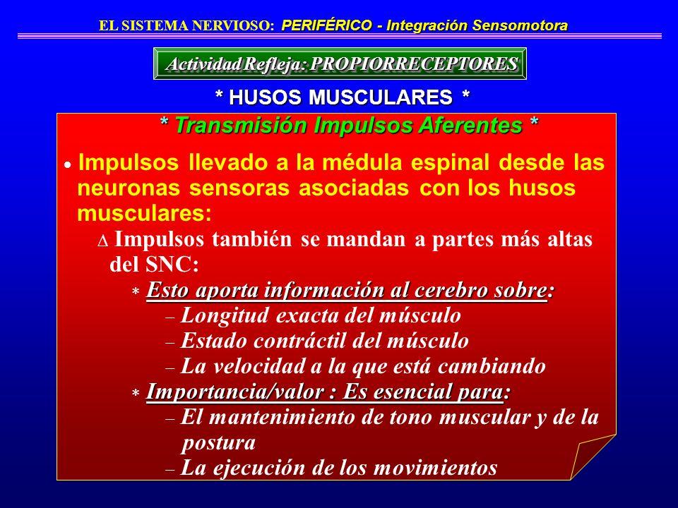 Impulsos llevado a la médula espinal desde las neuronas sensoras asociadas con los husos musculares: Impulsos también se mandan a partes más altas del