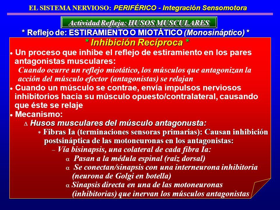 Un proceso que inhibe el reflejo de estiramiento en los pares antagonistas musculares: Cuando ocurre un reflejo miotático, los músculos que antagoniza