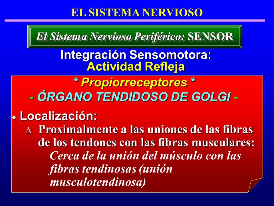 * Propiorreceptores * - ÓRGANO TENDIDOSO DE GOLGI - Localización: Localización: Proximalmente a las uniones de las fibras Proximalmente a las uniones
