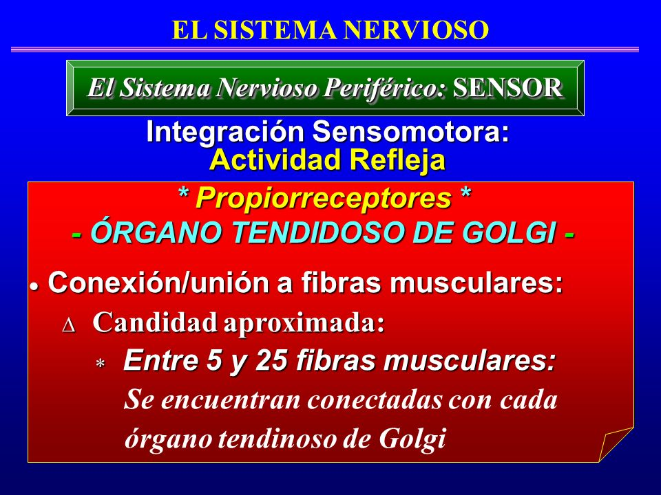 * Propiorreceptores * - ÓRGANO TENDIDOSO DE GOLGI - Conexión/unión a fibras musculares: Conexión/unión a fibras musculares: Candidad aproximada: Candi