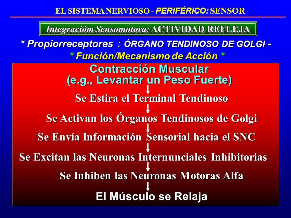 * Propiorreceptores : ÓRGANO TENDINOSO DE GOLGI - * Función/Mecanismo de Acción * EL SISTEMA NERVIOSO - PERIFÉRICO: SENSOR Integracióm Sensomotora: AC