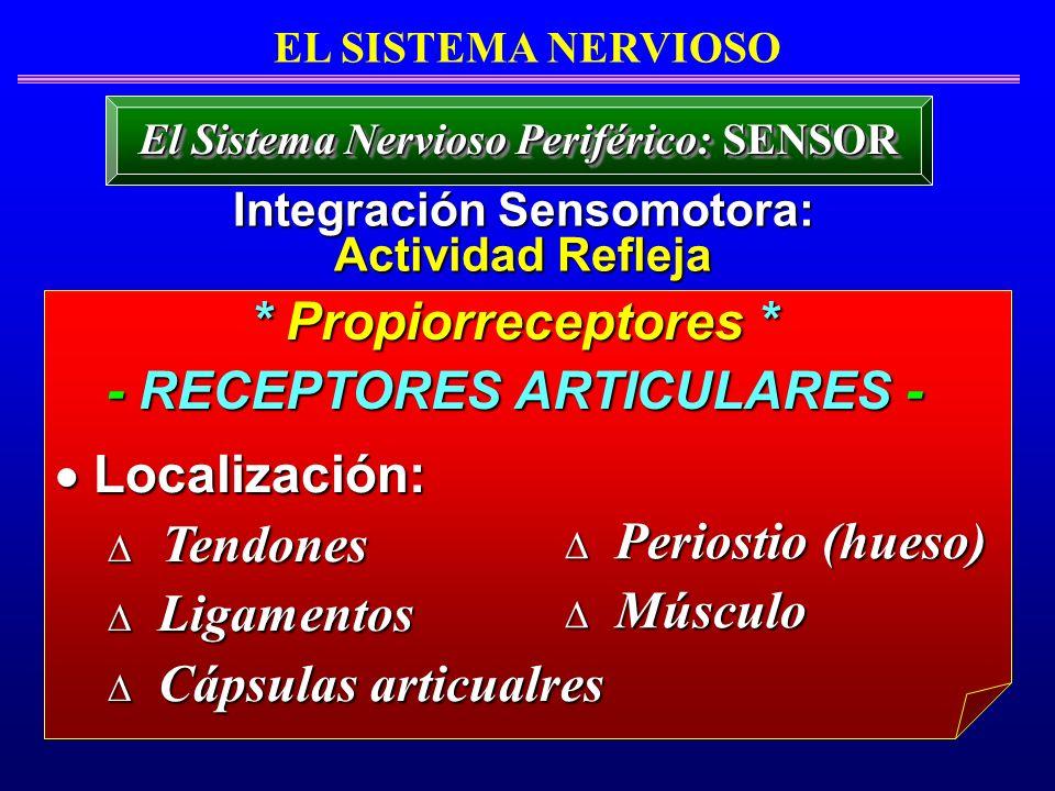 * Propiorreceptores * - RECEPTORES ARTICULARES - Localización: Localización: Tendones Tendones Ligamentos Ligamentos Cápsulas articualres Cápsulas art