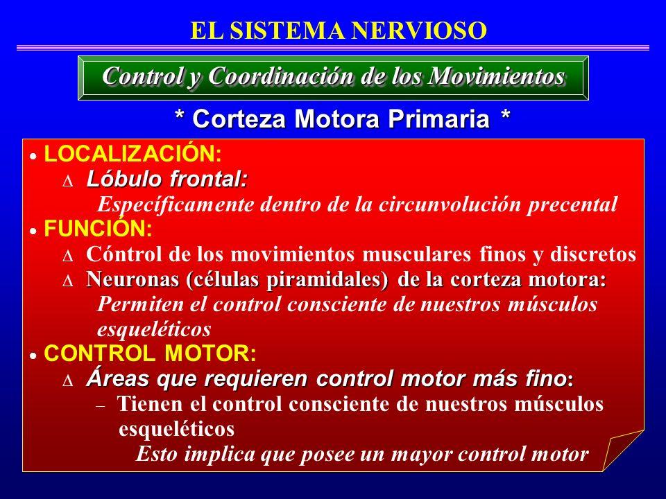 * Corteza Motora Primaria * EL SISTEMA NERVIOSO LOCALIZACIÓN: Lóbulo frontal: Específicamente dentro de la circunvolución precental FUNCIÓN: Cóntrol d