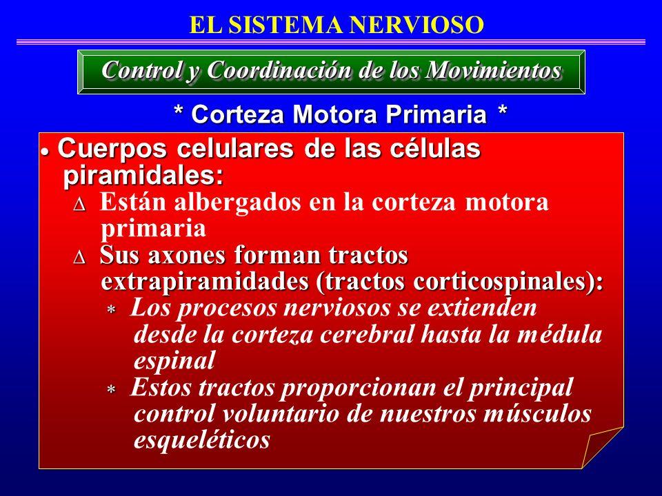 Cuerpos celulares de las células Cuerpos celulares de las células piramidales: piramidales: Están albergados en la corteza motora primaria Sus axones