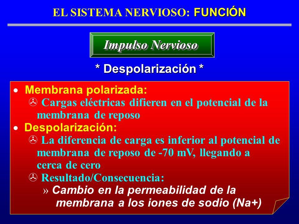 FUNCIÓN EL SISTEMA NERVIOSO: FUNCIÓN * Despolarización * Impulso Nervioso Membrana polarizada: Cargas eléctricas difieren en el potencial de la membra