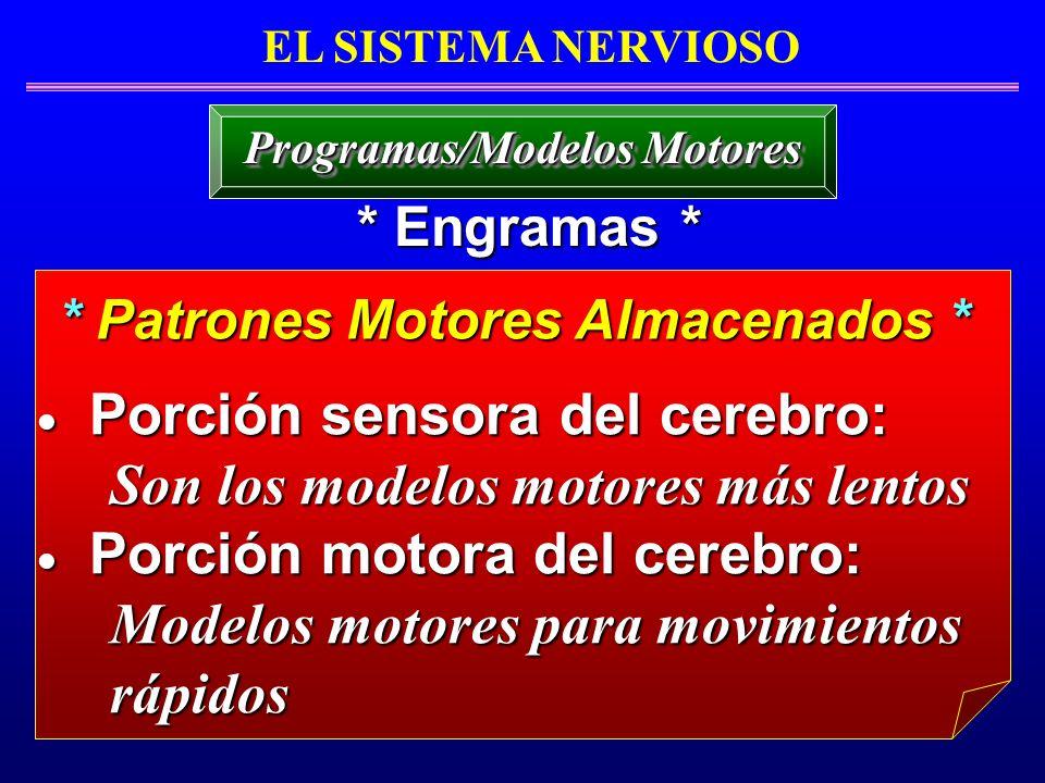 Porción sensora del cerebro: Porción sensora del cerebro: Son los modelos motores más lentos Son los modelos motores más lentos Porción motora del cer