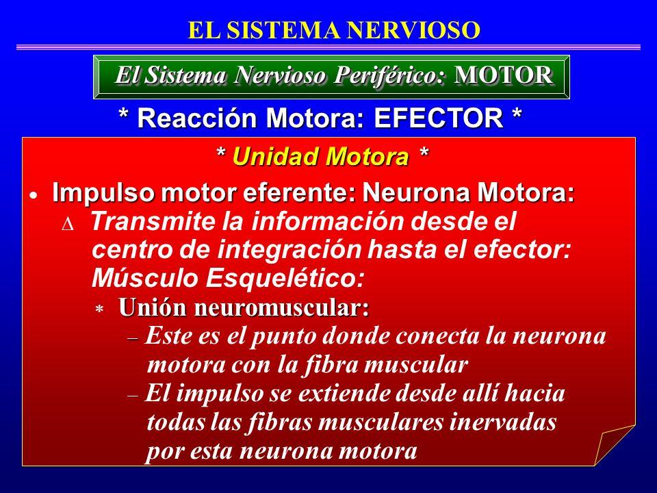 Impulso motor eferente: Neurona Motora: Transmite la información desde el centro de integración hasta el efector: Músculo Esquelético: Unión neuromusc