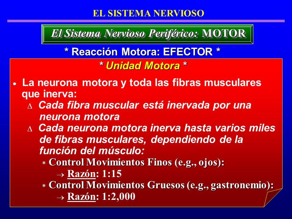 La neurona motora y toda las fibras musculares que inerva: Cada fibra muscular está inervada por una neurona motora Cada neurona motora inerva hasta v