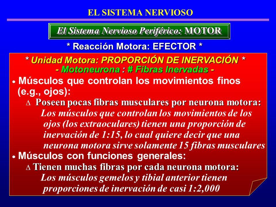 Músculos que controlan los movimientos finos (e.g., ojos): Poseen pocas fibras musculares por neurona motora: Los músculos que controlan los movimient