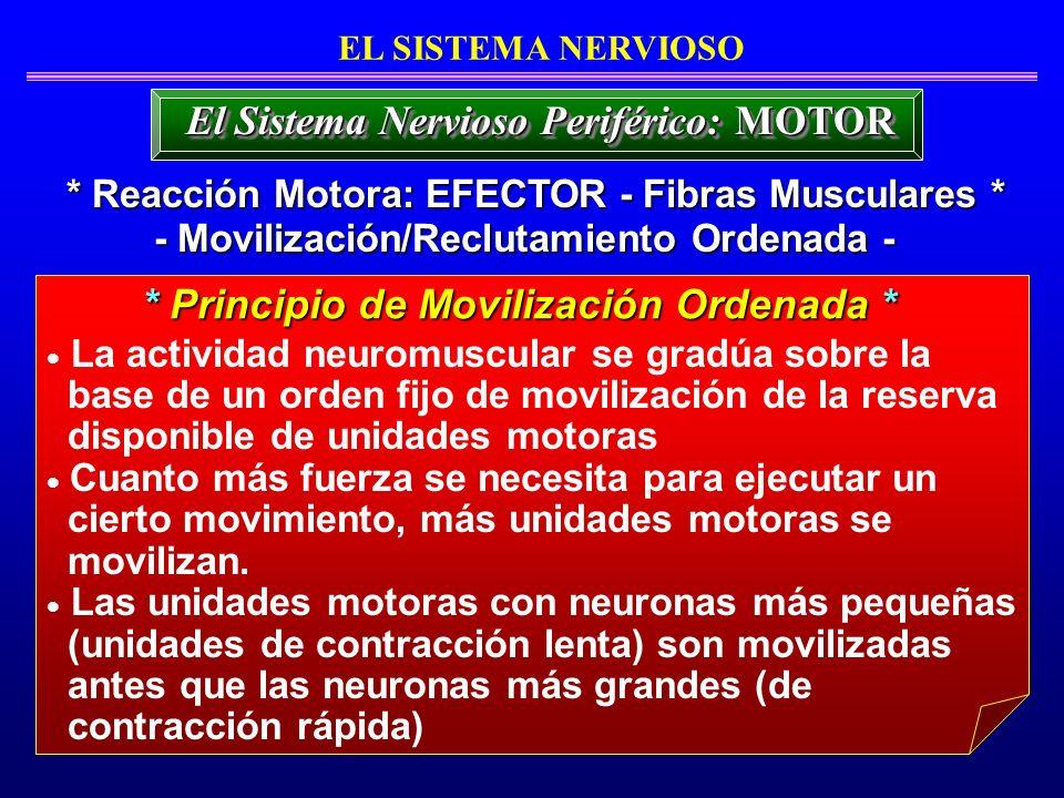 La actividad neuromuscular se gradúa sobre la base de un orden fijo de movilización de la reserva disponible de unidades motoras Cuanto más fuerza se